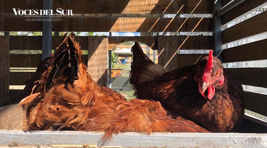 El proyecto de autogestión agrícola incluye la crianza de gallinas ponedoras.