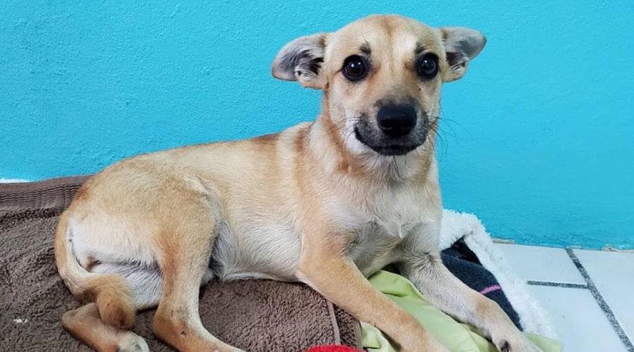 Una perrita rescatada por el Santuario San Francisco de Asís en Cabo Rojo, llamada Elizabeth, requiere que se le ampute una pierna.